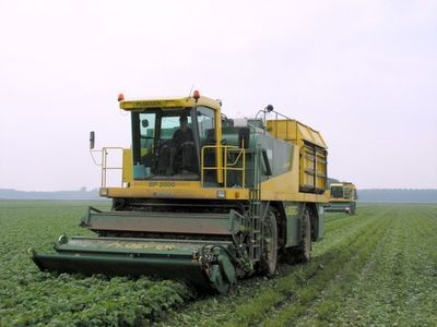 Process to collect french bean in Spain partner producer.